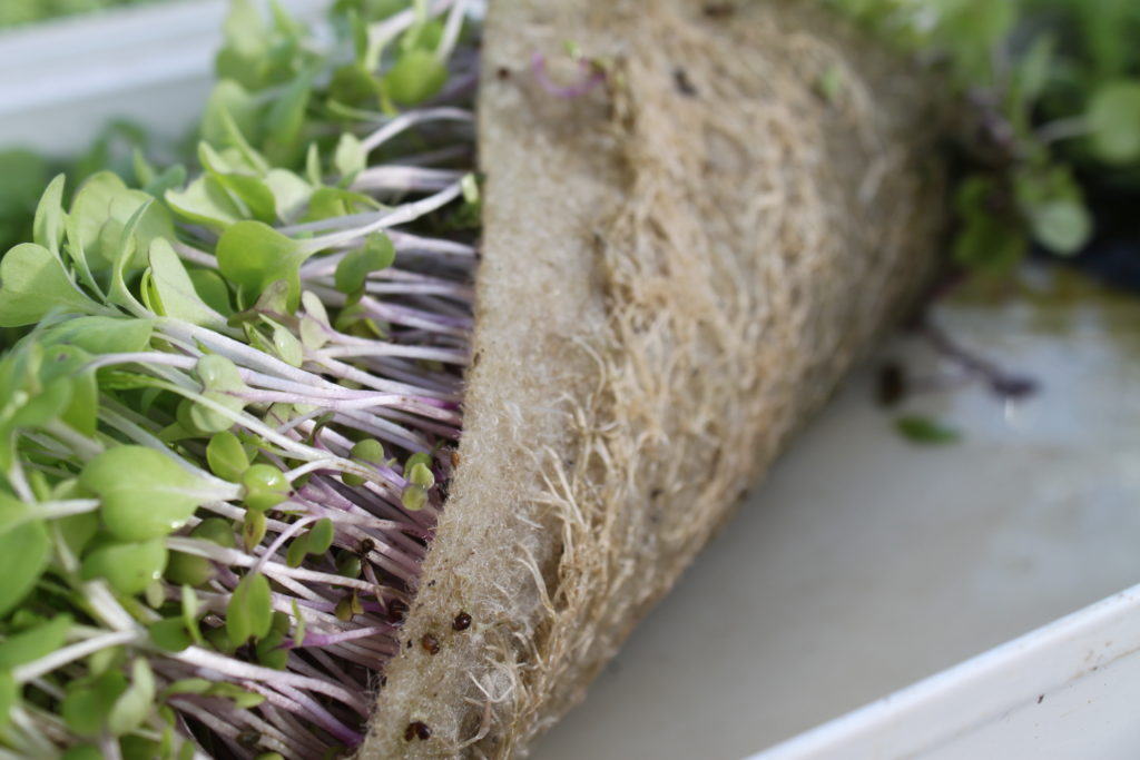Grow-Tech's BioStrate® is a biobased felt for propogating microgreens.